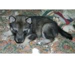 wolf_dog_puppy