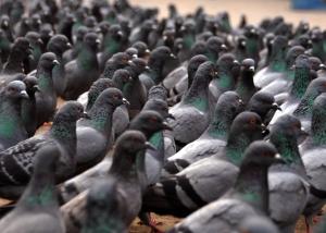 Pigeons-02